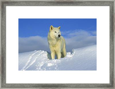 White Wolf In The Snow Idaho Framed Print by Tom Vezo