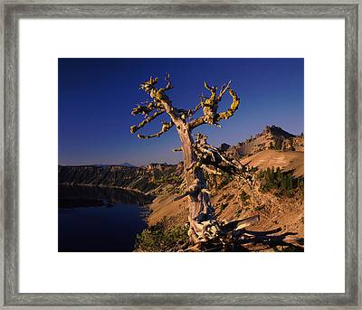 Whitebark Pine Tree At Lakeside Framed Print by Panoramic Images