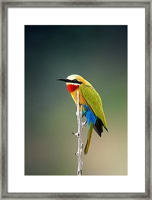 Whitefronted Bee-eater Framed Print by Johan Swanepoel