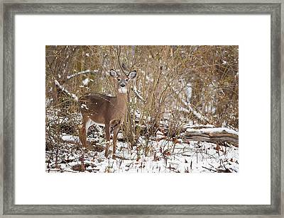Whitetail Deer Framed Print by Bill Wakeley