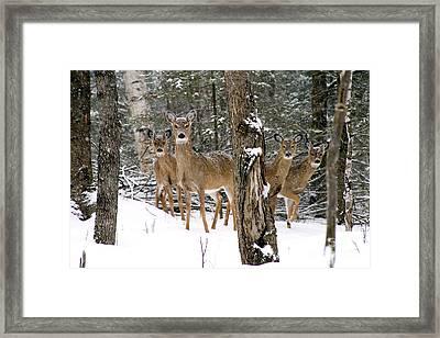 Whitetail Deer Odocoileus Virginianus Framed Print by Gregory K Scott