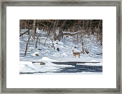 Whitetail Deer Winter Framed Print by Bill Wakeley