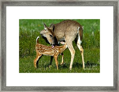Whitetail Deer With Fawn Framed Print by Mark Newman