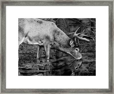 Whitetail Reflection Framed Print by Nina Lukaszewicz
