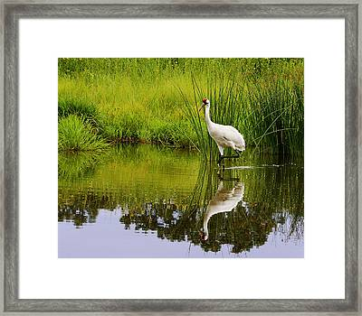 Whooping Crane I Framed Print by Barbara Smith