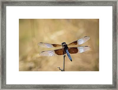 Widow Skimmer Dragonfly Perching Framed Print by Rob Sheppard