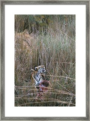 Wild Bengal Tiger With Prey Framed Print by Mark Newman