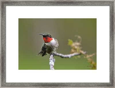 Wild Birds - Ruby-throated Hummingbird Framed Print by Christina Rollo