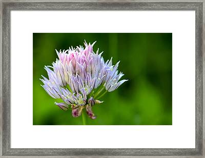 Wild Blue - Chive Blossom Framed Print by Adam Romanowicz