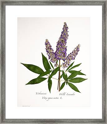 Wild-lavender 1 Framed Print by Roberta Jean Smith