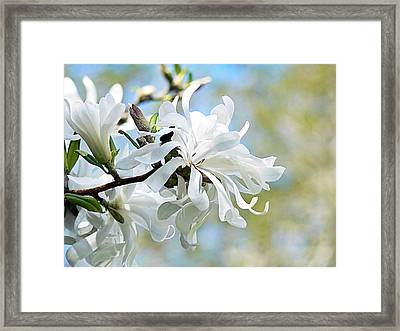 Wild Magnolia Blooms Framed Print by Pamela Patch