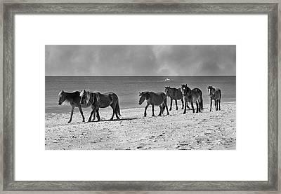 Wild Mustangs Of Shackleford Framed Print by Betsy Knapp