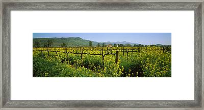 Wild Mustard In A Vineyard, Napa Framed Print by Panoramic Images