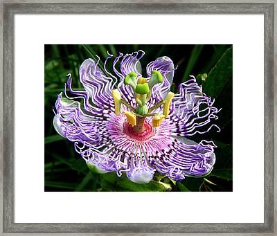 Wild Passion Flower Framed Print by Ira Runyan