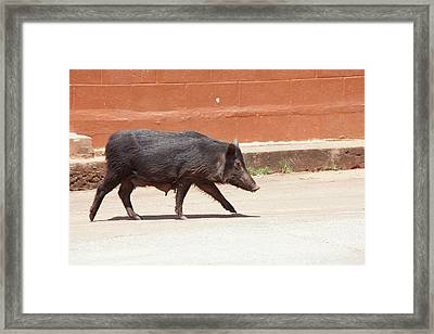 Wild Pig Framed Print by Jim Edds