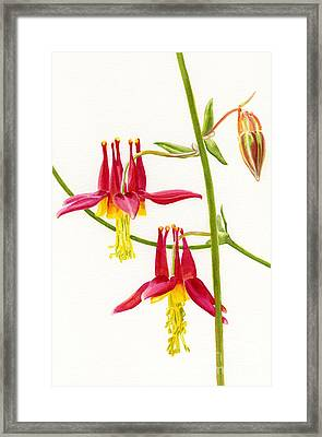 Wild Red Columbine Blossoms Framed Print by Sharon Freeman