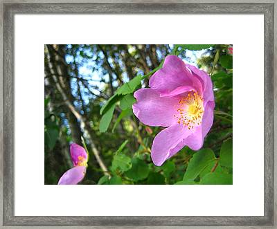 Wild Rose Framed Print by Shirley Sirois