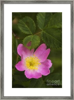 Wild Rose Framed Print by Veikko Suikkanen