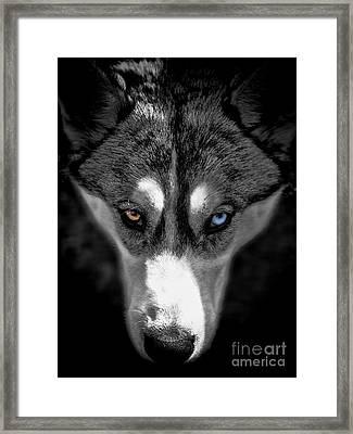 Wild Stare Framed Print by Karen Lewis