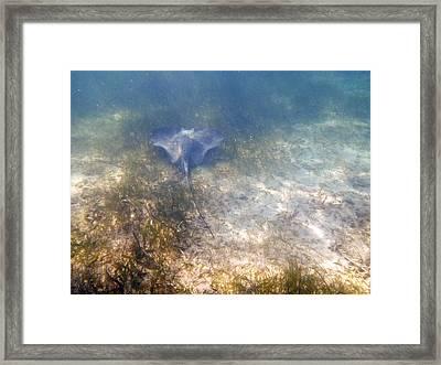 Wild Sting Ray Framed Print by Eti Reid