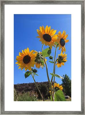 Wild Sunflowers Framed Print by Scott Campbell