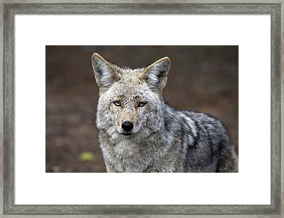 Wild Timber Wolf Framed Print by Mark Duffy