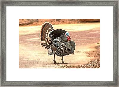 Wild Tom Turkey Framed Print by Robert Bales