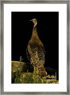 Wild Turkey Meleagris Gallopavo Framed Print by Ron Sanford