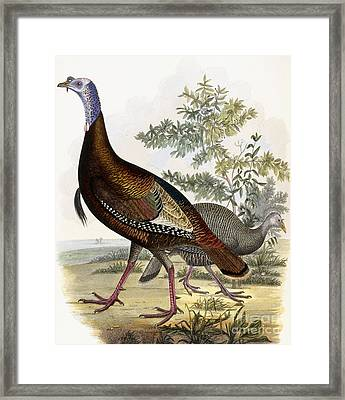 Wild Turkey Framed Print by Titian Ramsey Peale