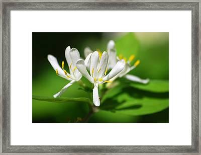 White Honeysuckle Flowers Framed Print by Christina Rollo