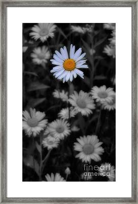 Wildflower - Ox Eye Daisy Framed Print by Henry Kowalski