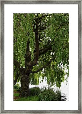 Willow Framed Print by Mark Rogan
