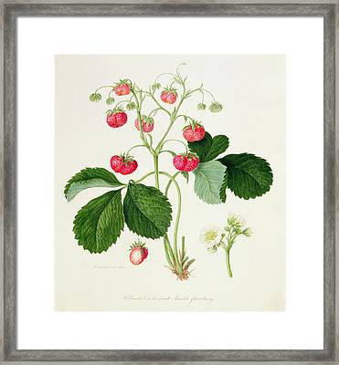 Wilmot's Cocks Comb Scarlet Strawberry Framed Print by William Hooker