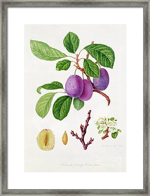 Wilmot's Early Violet Plum Framed Print by William Hooker