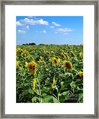 Windblown Sunflowers Framed Print by Robert Frederick