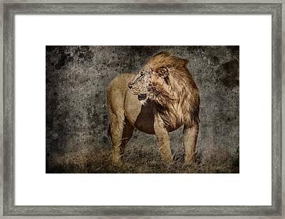 Windswept Lion Framed Print by Mike Gaudaur