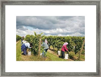 Wine Grape Harvest Framed Print by Jim West