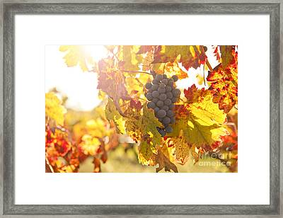 Wine Grapes In The Sun Framed Print by Diane Diederich