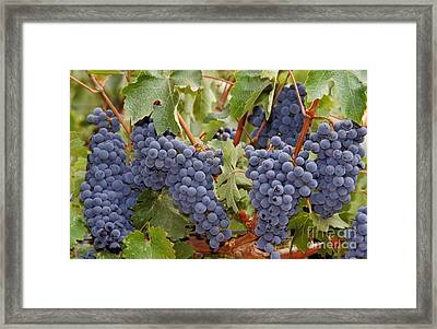 Wine Grapes, Napa Valley Framed Print by Ron Sanford