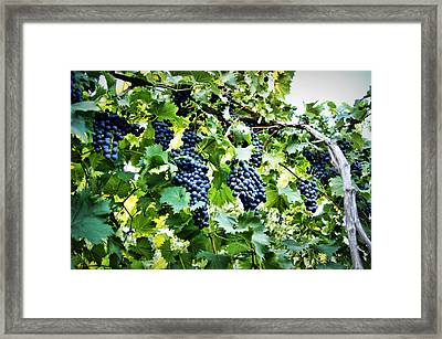 Wine On The Vine Framed Print by Cricket Hackmann