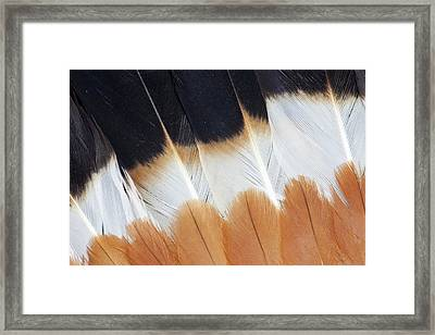 Wing Fanned Out On Northern Lapwing Framed Print by Darrell Gulin