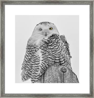 Winking Snowy Owl Black And White Framed Print by Thomas Young