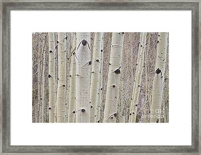 Winter Aspen Tree Forest Framed Print by James BO  Insogna