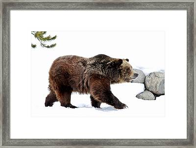 Winter Bear Walk Framed Print by Athena Mckinzie