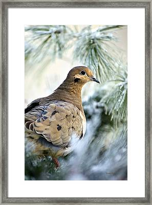 Winter Bird Mourning Dove Framed Print by Christina Rollo