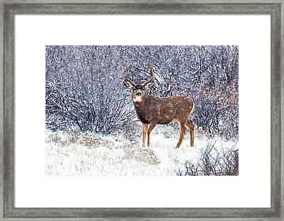 Winter Buck Framed Print by Darren  White