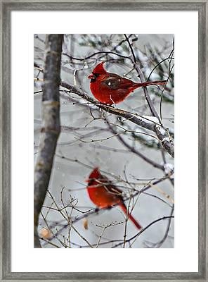 Winter Cardinals Framed Print by Susan Leggett