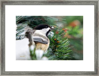 Winter Chickadee With Seed Framed Print by Christina Rollo