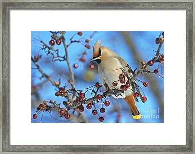 Winter Colors.. Framed Print by Nina Stavlund