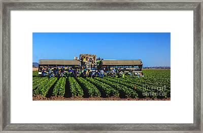 Winter Lettuce Harvest Framed Print by Robert Bales